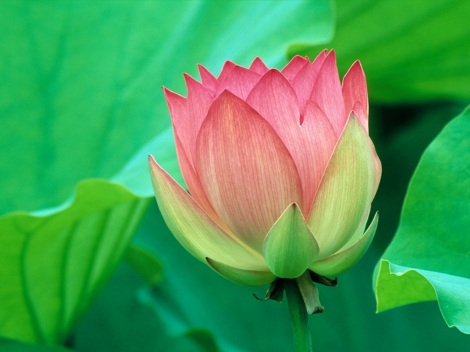 lotus-flower-wallpaper