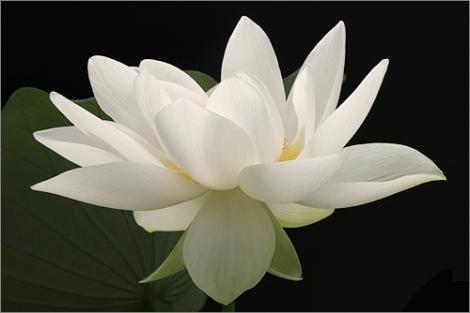 Lotus_Flower_IMG_1724